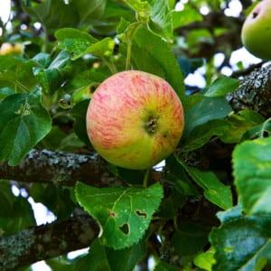 Svenskt äpple