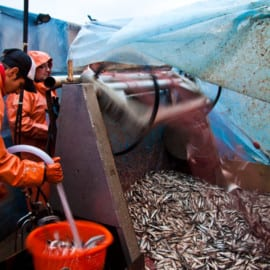 Löjromsfiske - Sil-skaken