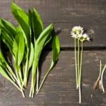 Ramslök blomma, blad och lök