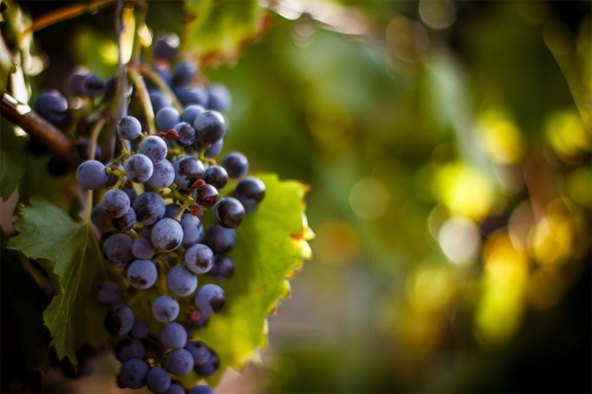 9. Unga viner är...
