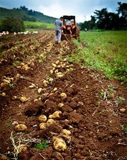 Potatisåker